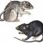 Rats carrying the plague