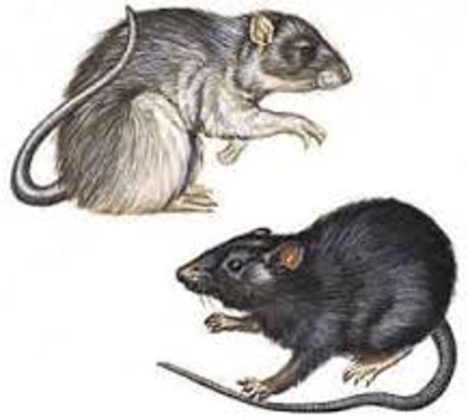 Bubonic plague - Wikipedia