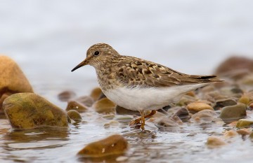 Temmincks Stint
