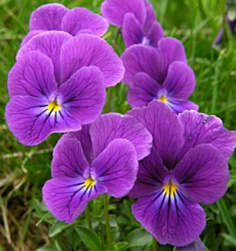 Violet mountain pansy